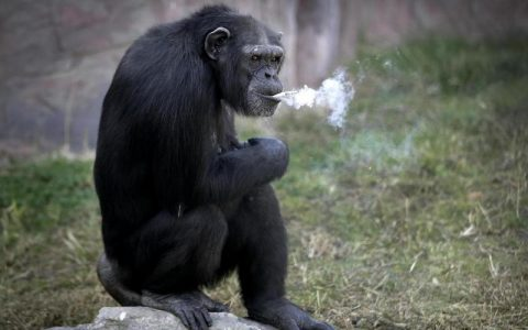 Simpanse di Korut Merokok