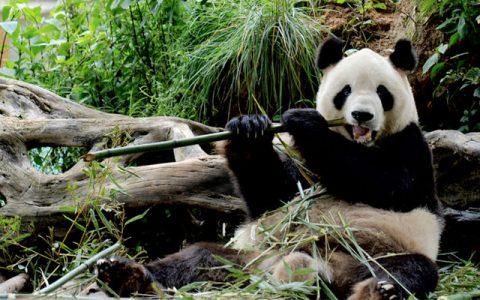 panda Jia jia di suntik mati
